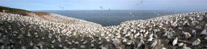 """Die Vogelkolonie auf der Ostseite der """"L'île Bonaventure"""" (Foto: Marc Lautenbacher)"""